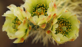 Teddy Bear Chollo Blossoms