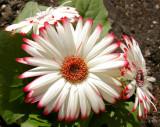 My Spring Garden Flowers 2010