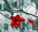 Tree Berries still Surviving