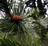 Frozen pine cone and needles