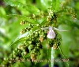 Misumena vatia - Female 1