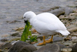 Kelp Goose - Kelpgans - Chloephaga hybrida