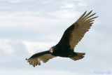 Turkey Vulture - Kalkoengier - Cathartes aura
