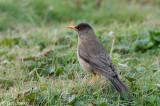 Austral Trush - Magelhaenlijster/Falklandlijster - Turdus falklandii