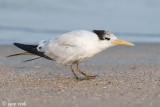 Lesser Crested Tern - Bengaalse Stern - Sterna bengalensis