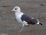 Siberian Gull - Heuglin's Meeuw - Larus heuglini