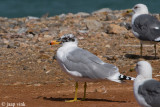 Great Black-headed Gull - Reuzenzwartkopmeeuw - Larus ichthyaetus