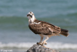 Osprey - Visarend - Pandion haliaetus
