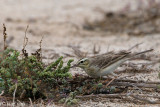 Tawny Pipit - Duinpieper - Anthus campestris