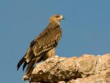 Imperial Eagle - Keizerarend - Aquila heliaca