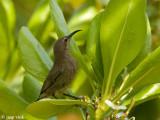 Shining Sunbird - Glanshoningzuiger - Nectarinia habessinica