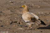 Egyptian Vulture - Aasgier - Neophron percnopterus
