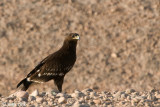 Spotted Eagle - Bastaardarend - Aquila clanga