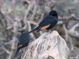 Tristram's Starling - Tristrams Spreeuw - Onychognathus tristramii