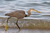Western Reef Heron - Westelijke Rifreiger - Egretta gularis