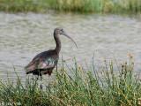Glossy Ibis - Zwarte Ibis - Plegadis falcinellus