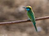 Little Green Bea-eater - Kleine Groene Bijeneter - Merops orientalis