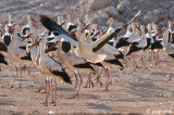 White Stork - Ooievaar - Ciconia ciconia
