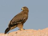 Steppe Eagle - Steppearend - Aquila nipalensis