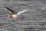 Slender-billed Gull - Dunbekmeeuw - Larus genei