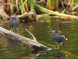 _MG_0195 gallinule poule d'eau île bizard.jpg