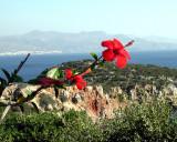 Hibiscus in Crete
