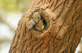 Young Eastern Gray Squirrels in Tree Den in Early Spring