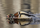 Gallery: Wood Duck
