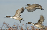 Three Pintails