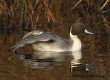Pintail Relaxing