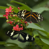Tiger Longwing_ Heliconious hecale and ?