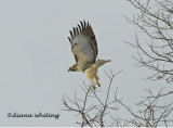 Redtail Take Off
