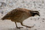 bobwhite_quail