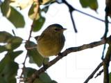 orange_crowned_warbler