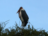 Maribou stork sitting in a tree