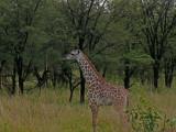A baby giraffe - so cute!