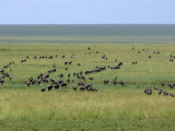 The wildebeest migration just before Naabi Hill Gate