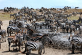 31. Zebra at the waterhole