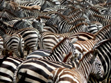 Zebra wallpaper - tons of them!