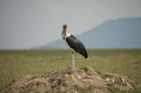 A maribou stork waits patiently for his turn at a kill