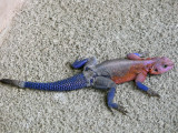Agama lizzard - such colourful creatures!