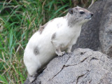 An albino hyrax - a rare find!  Note the fly he is watching