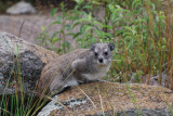A regular run-of-the-mill rock hyrax
