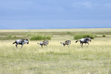 Our second animal sighting - those mixed up animals - the wildebeest!
