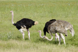 Two males, and one female ostrich