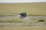 Lazy wildebeest