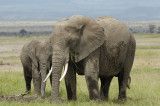Elephants in Amboseli are very photogenic