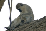 Black faced monkies doing what they do best