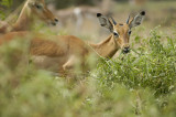 A herd of impala were nearby