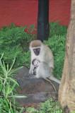 Vervet monkey & baby at Amboseli Serena Lodge